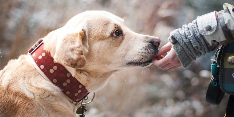 10 Best Dog Food for Labs in 2020
