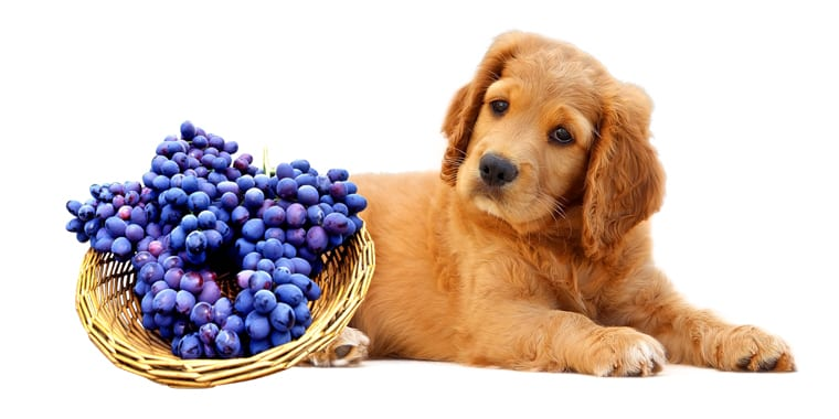 Can Dogs Eat Grapes?