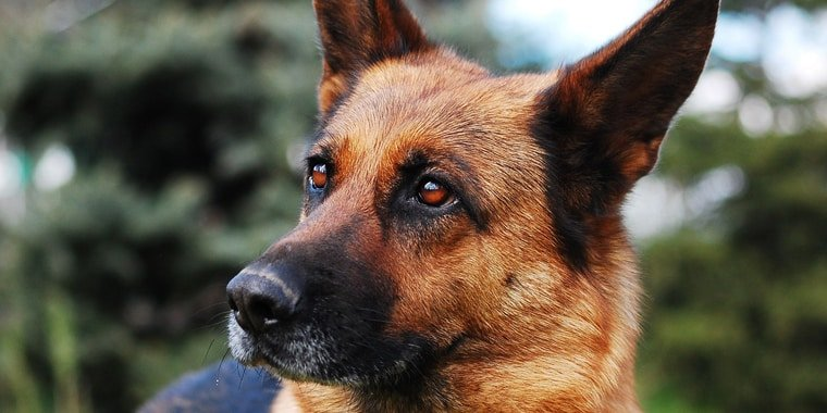 11 Best Dog Foods for German Shepherd in 2020