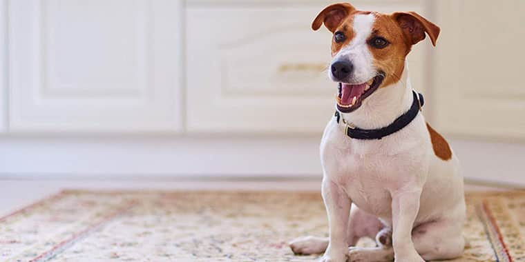 11 Best Pet Carpet Cleaner Solutions and Shampoos