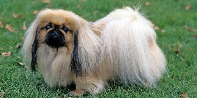 11 of the Most Popular Chinese Dog Breeds