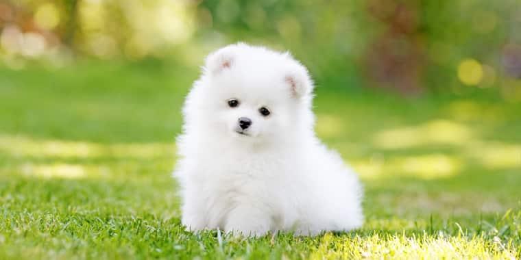 Top Teacup Dog Breeds