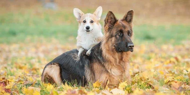German Shepherd Mixes