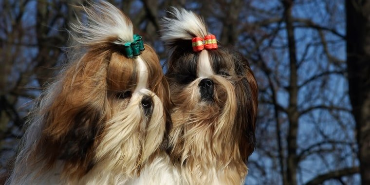 Top Dog Breeds That Dont Shed