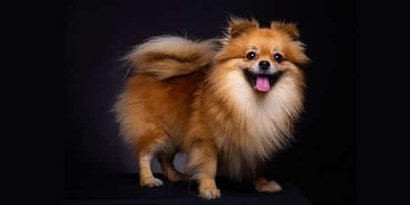 Top Fluffy Dog Breeds