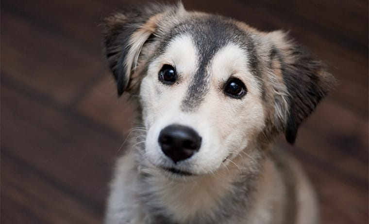 Golden Retriever Husky Mix