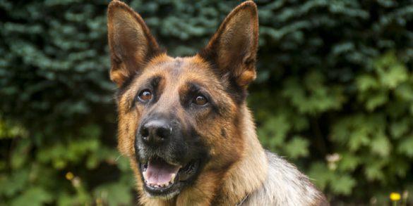 Top Police Dog Breeds