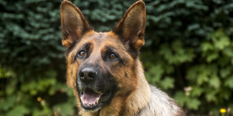 Top Police Dog Breeds