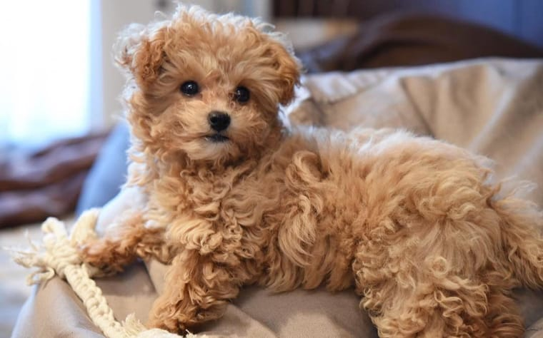 Chihuahua Poodle Mix or Chi-Poo