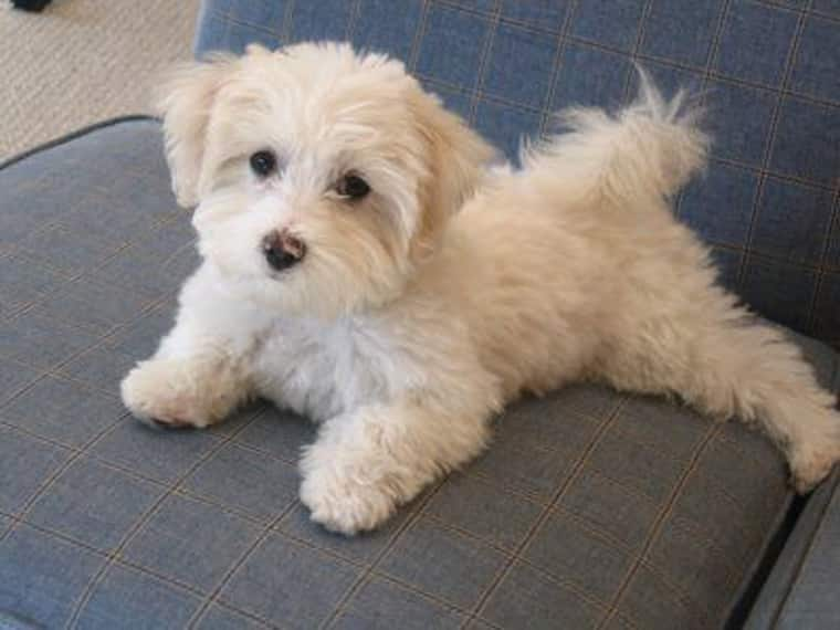 Maltese Poodle Mix or Matipoos