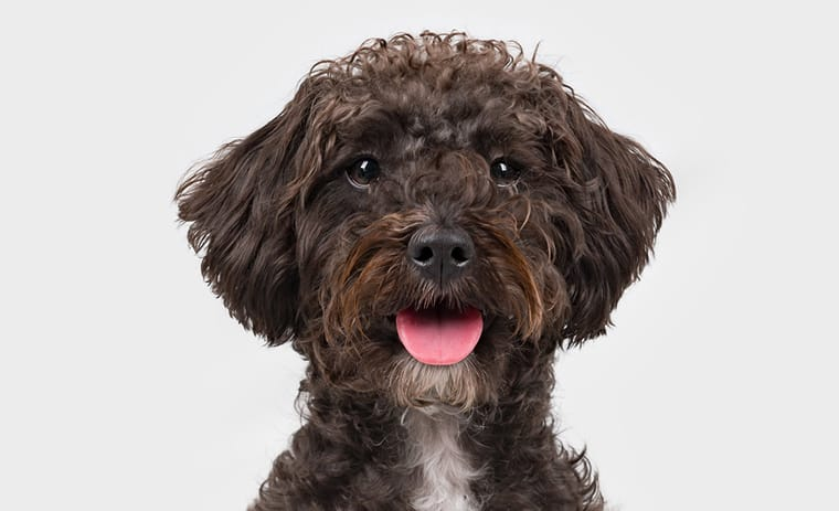 Schnauzer Poodle Mix or Schnoodle